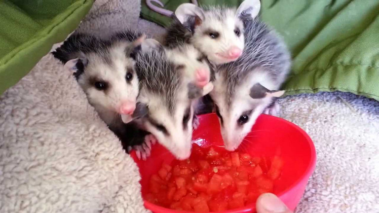 How to Get Rid of Possums in Yard with Four Ways