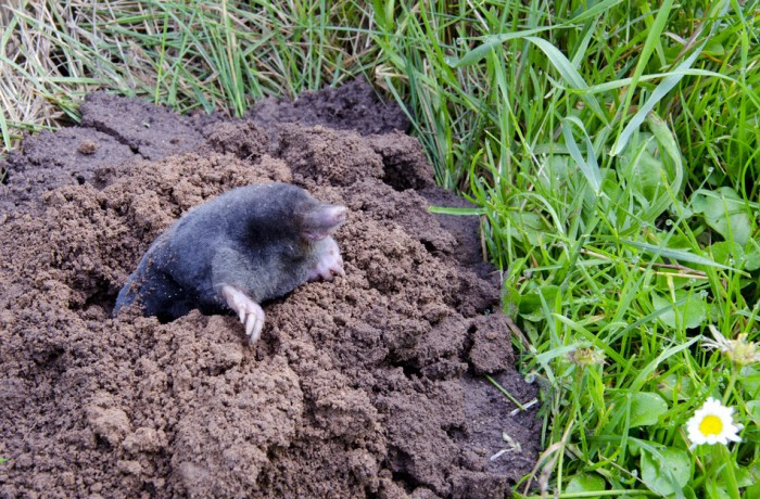 how to get rid of moles in the yard