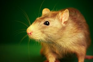 how to get rid of rats in yard
