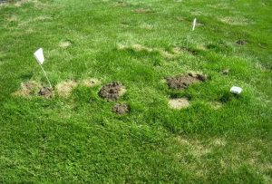 how to kill moles in yard 2