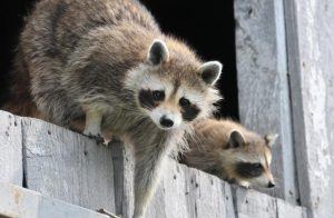 how to get rid of raccoons in yard