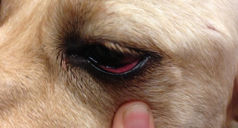 Dog swollen eye home treatment