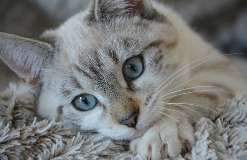 Home Remedies for Kitten Eye Infections that Works All the Time