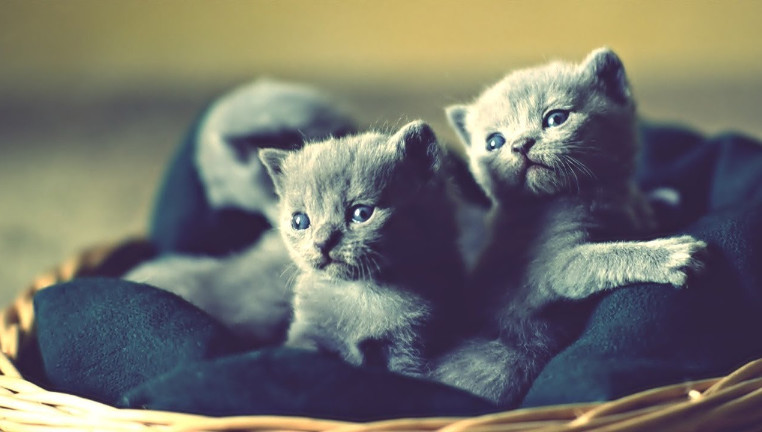 The Reasons Why You Need to Find Purebred Russian Blue Kittens for Sale