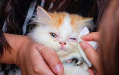 Causes, Symptoms, and Home Remedies of Kitten Eyes Infection