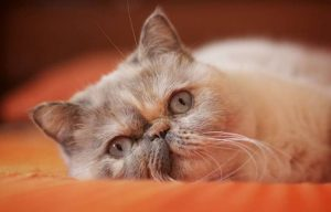 Exotic Shorthair Cat for Sale and Things to Know Beforehand