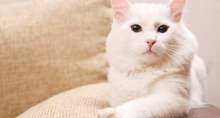 Some Causes of Cat Vomiting white Foam that You Need to Know