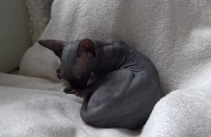 Some Characteristic of Black Hairless Cats that You Must Know
