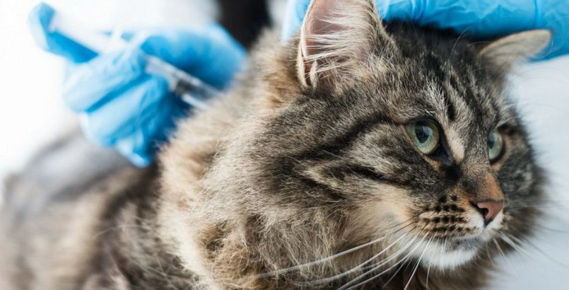 What are FVRCP and When to Get Cat Vaccination Fvrcp