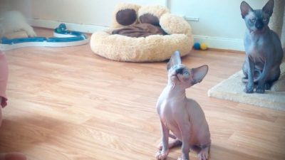 Hairless Cat Breeds and How to Know Whether It is a Sphynx Cat or Not