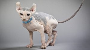 Hairless cat adoption