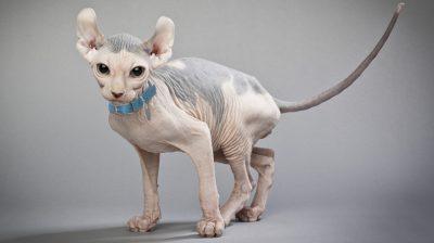 Hairless cat adoption