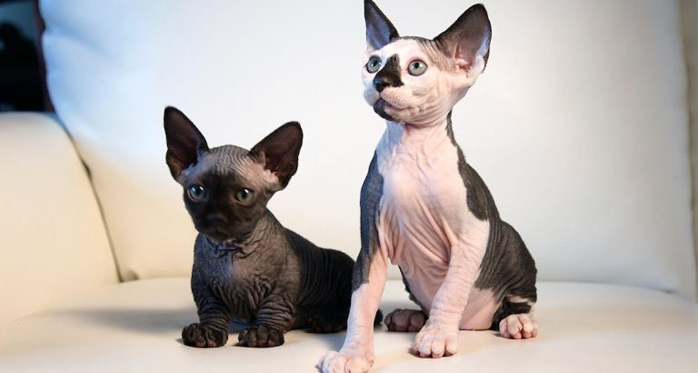 How to Become the Trusted Sphynx Breeders