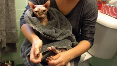 Sphynx Cat Adoption