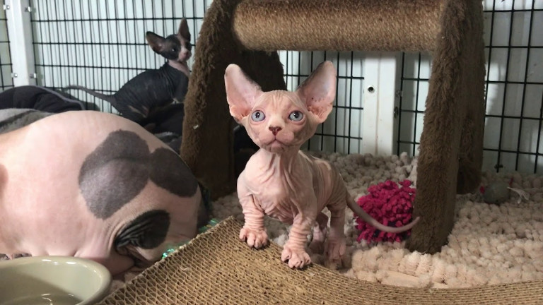 Sphynx Cat Cost and How to Get a Real One