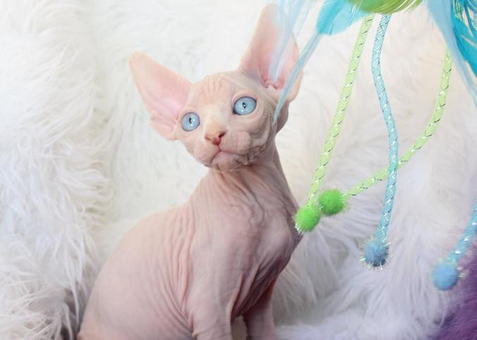 Finding Sphynx Rescue And Shelter To Adopt New Cats Petsepark Com