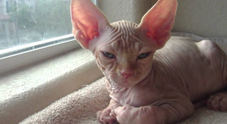 The Best Hairless Kittens for Sale with Playful Personality