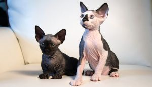 Top Reasons to Find Sphynx Cat for Sale Ohio