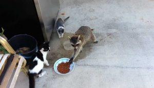 raccoon stealing cat food