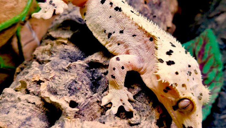 Getting to Know about Crested Gecko Breeders