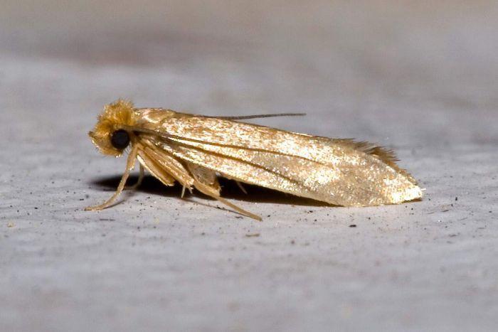 pantry moths in bedroom