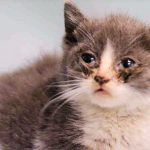 kitten conjunctivitis