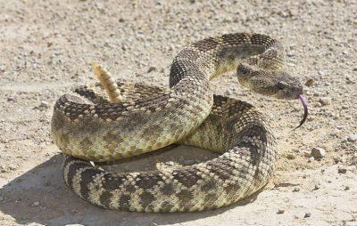 rattlesnake vaccine for humans