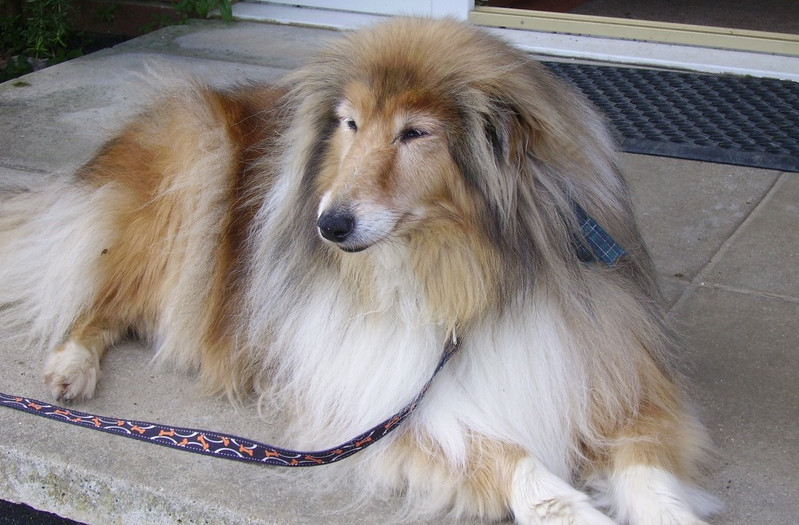 rough collies for rehoming