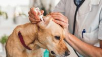 Surolan Otic Ear Drops to Effectively Solve the Problems in Ears and Skins of Your Pets