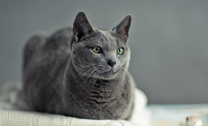 Flagyl for Cats to Deal with Inflammatory Bowel Disease
