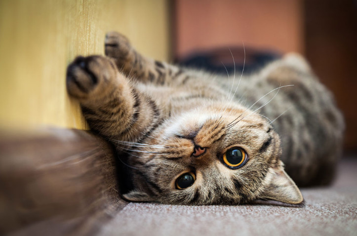 Home Remedies for Cat Seizures and the Methods to Implement Them