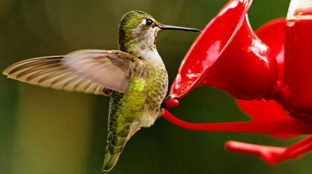 Hummingbird sugar water ratio