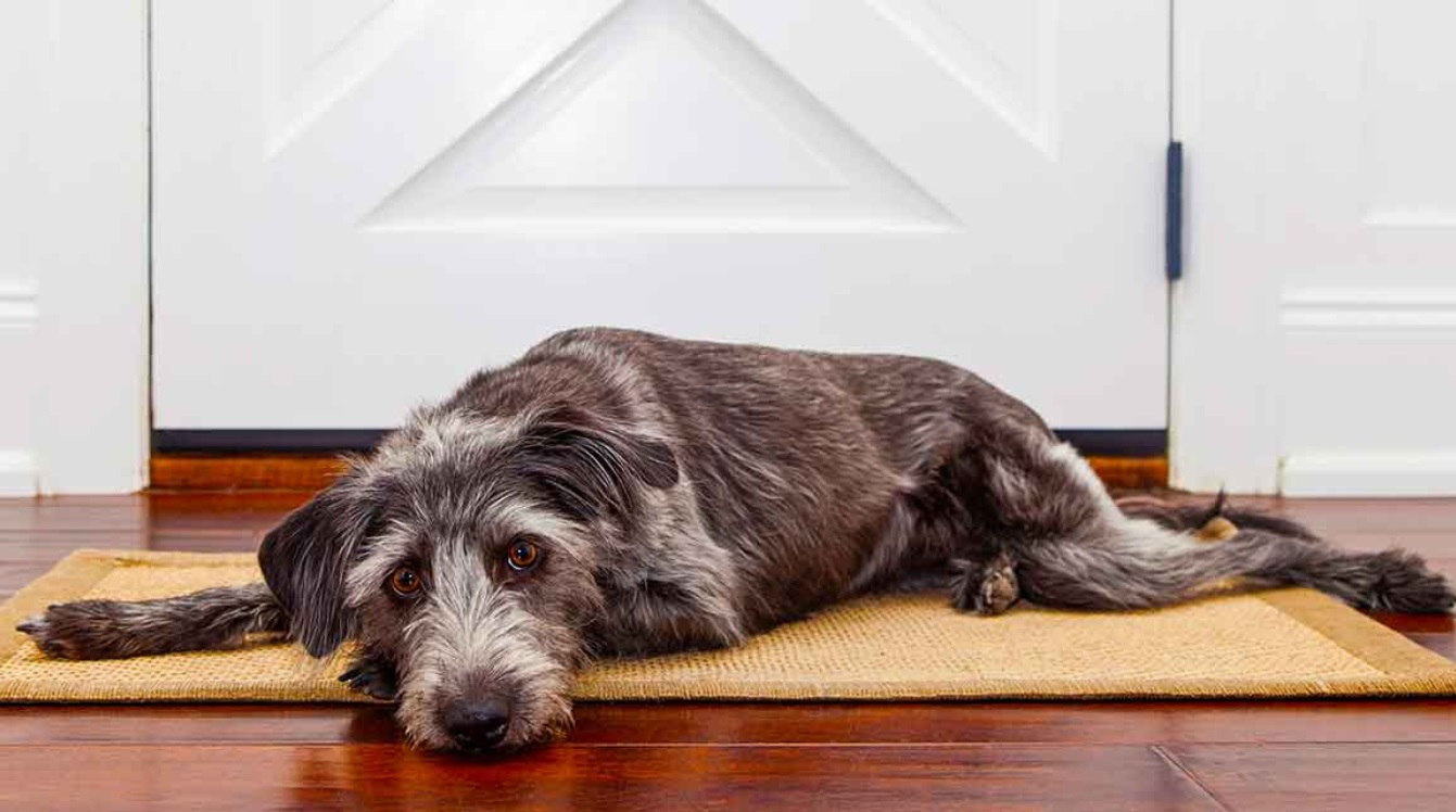 Dog Allergy Medicine Apoquel Use, Dosage, and Side Effects