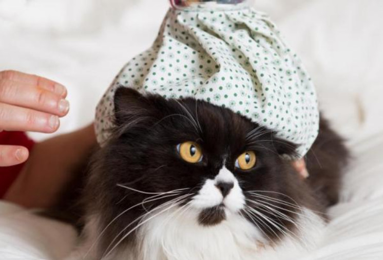 Deal with Symptoms of Distemper in Cats