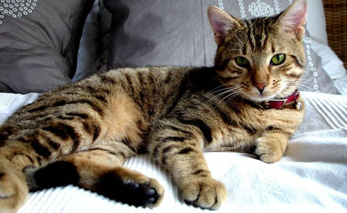 Deal with an Overactive Thyroid in Cats