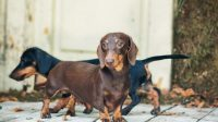 Dog Breeds Prone to Cushing's Disease