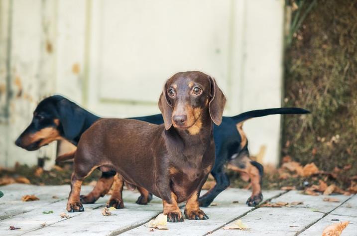 Dog Breeds Prone to Cushing's Disease