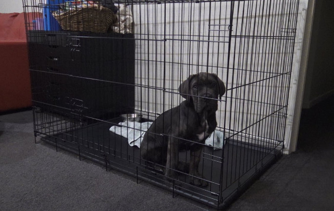 Puppy whining in crate at night