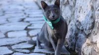 Russian blue hypoallergenic cats
