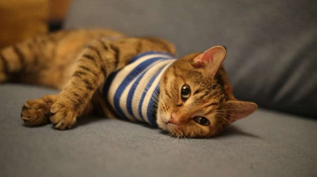 The Hyperthyroidism in Cats Life Expectancy Causes and Treatments