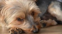 Treatment for Cushing's in Dogs and Its Symptoms