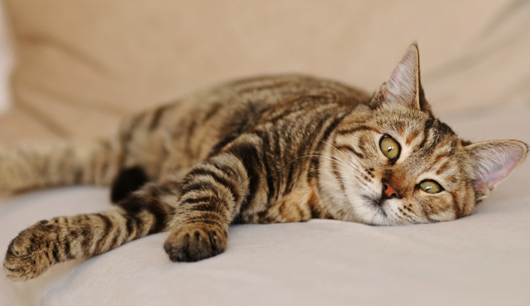 Benadryl Dose for Cats