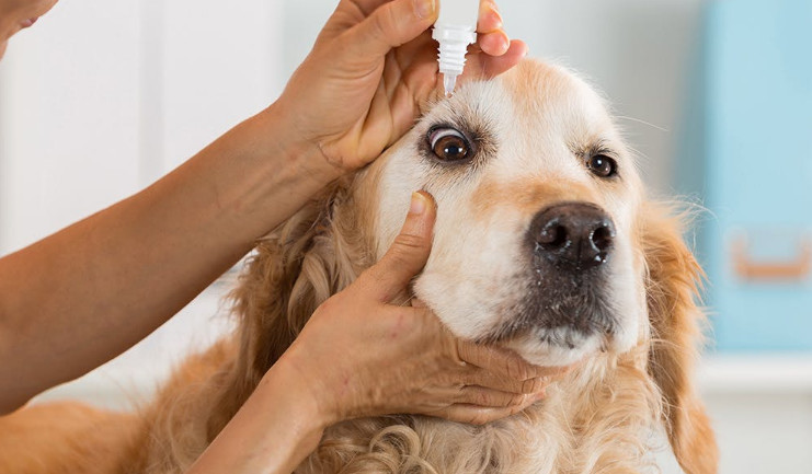 Dog Conjunctivitis Treatment over the Counter and Three Selected Solutions