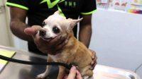 Heart Murmur in Chihuahua Cause, Symptom, and Treatments