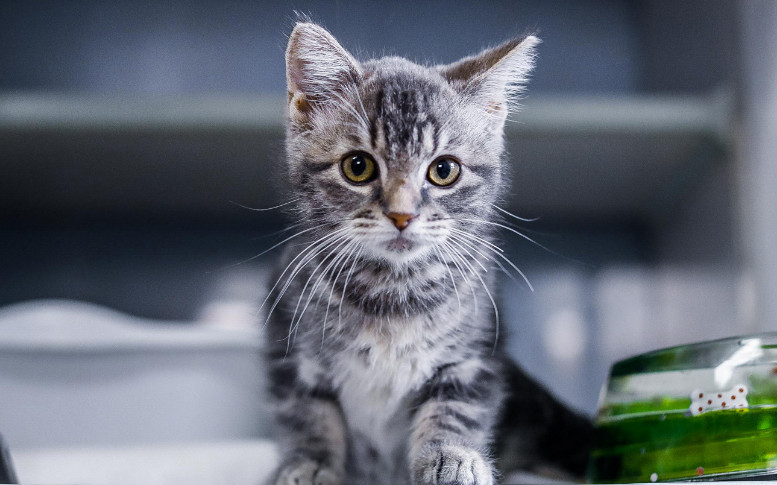 How Much Does It Cost to Neuter A Cat At PetSmart Compared to Other Places