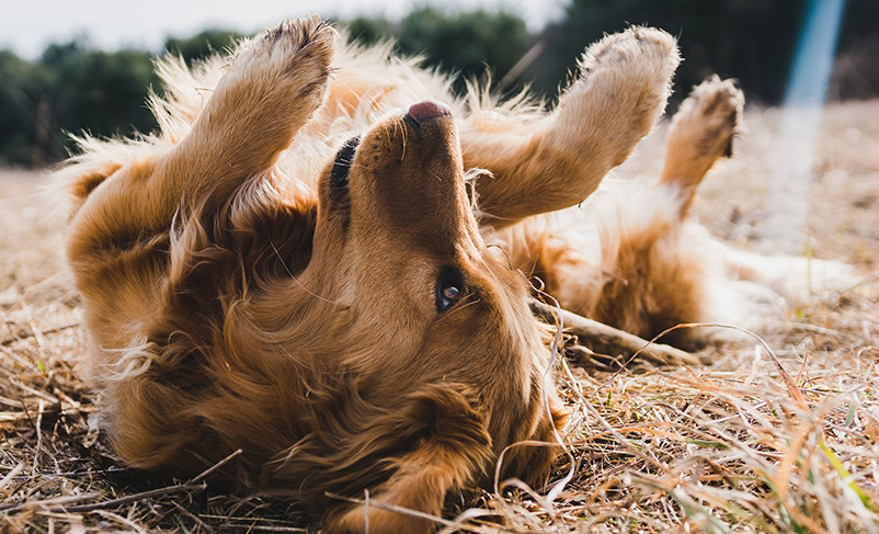 How to Get Rid of Fleas on Dogs Home Remedy with Three Easy-Peasy Tricks