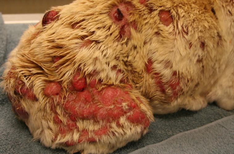 cancerous wart on dog