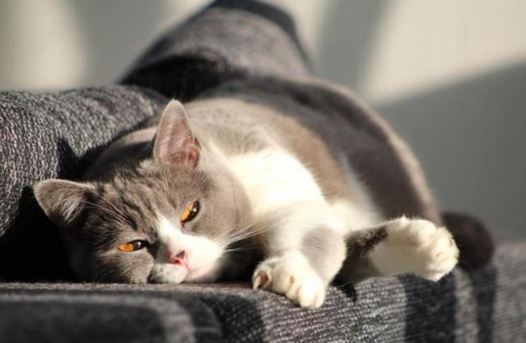 parvo symptoms in cats