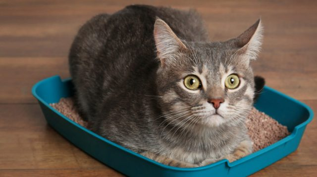 Crystals in Cat Urine Home Remedies and Natural Treatments