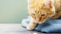 Gabapentin for Cats Dosage and Related Things You Have to Understand